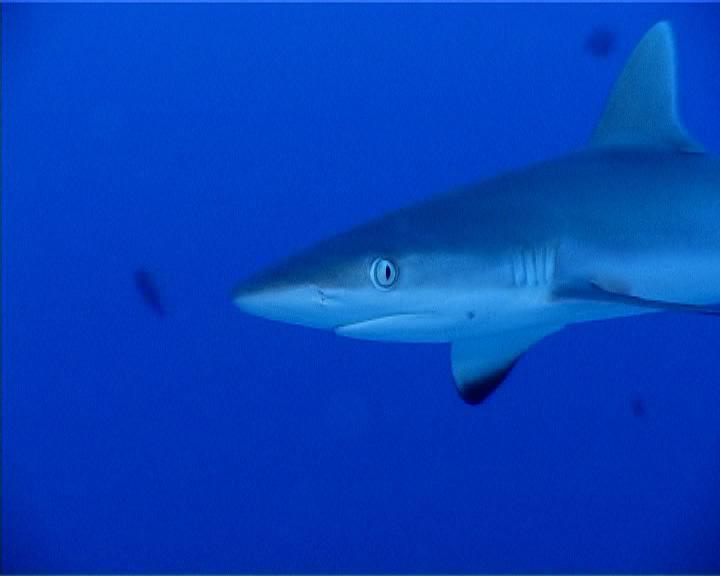 Shark Maui